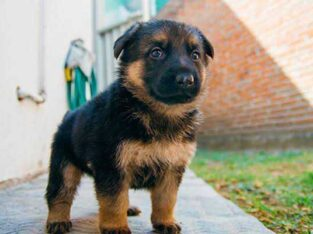 pure German Shepherd puppy